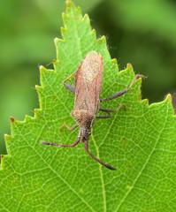 Coriomeris denticulatus - Snitterfield Bushes, Warwickshire 2016a (Steven Falk) Tags: coriomeris denticulatus denticulate leatherbug steven falk