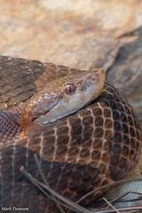 234A7384.jpg (Mark Dumont) Tags: animals cincinnati copperhead dumont mark reptile snake zoo