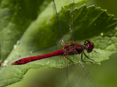 Piment rouge * (Titole) Tags: red libellule dragonfly titole nicolefaton green