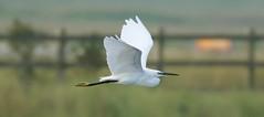 Little Egret- (Mick Lowe) Tags: flight flying wing little egret egretta