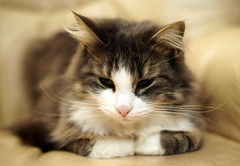 Passive, elle est pensive (Philippe Vieux-Jeanton) Tags: chat cat daisy pentaxsmcm50mmf17 zhonguiturboii