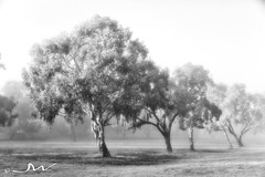 Foggy Morning in the Park (Tartan Ranga) Tags: infra red processing blackwhite fog foggy morning trees park