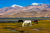 India, Kashmir, Ladakh (David Ducoin) Tags: altitude animal asia chanhthang himalaya horse horses india ladakh lake landscape mountain northindia snow tsomoriri zanskar leh kashmir in