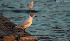 Serious Looking Bird (BesimIbrahimii) Tags: bird gull laughing macedoniagreece makedonia timeless macedonian μακεδονια aquatic animal outdoor