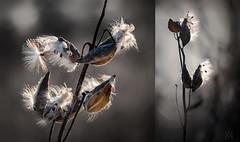 milkweed diptych (marianna_a.) Tags: p3130834lr milkweed weed seeds plant fora flora diptych 21 mariannaarmata