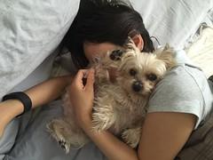tan b = my life (ceci cheung) Tags: yorkie yorkshireterrier tanji me