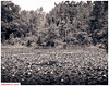 Wolf Lake and water-lilies (DelioTO) Tags: 4x5 180mm adoxchs25 aph09 autaut blackwhite canada flowers may landscape lensed ontario rural schneider sprig toned trails wood