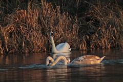 A watchful eye (christina.marsh25) Tags: cygnets swan