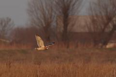 IMGP8976 Short-eared Owl, Burwell Fen, January 2017 (bobchappell55) Tags: burwellfen cambridgeshire naturereserve nature nationaltrust shortearedowl bird birdofprey flight asio flammeus