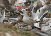 Goéland pontique - Larus cachinnans - Caspian Gull (Yann Brilland) Tags: goélandpontique laruscachinnans caspiangull goéland pontique gull laridés oiseaux avifaune