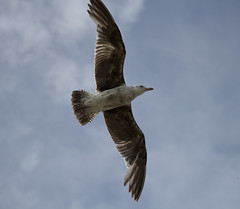 Gull overhead (AquilaKhi) Tags: gull seagull bird flying underside wings wing seabird feathers beach sealife