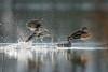 Envol de sarcelles (Jacques GUILLE) Tags: 09 anascrecca anatidés ansériformes ariège domainedesoiseaux eurasianteal jacquesguille mazères sarcelledhiver bird oiseau
