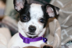 Lucy (parrotlady66..) Tags: puppy purple cute cutepets blackandwhite family familypet