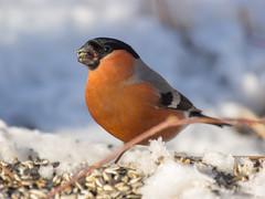 P1020302 (turbok) Tags: gimpel tiere vögel wildtiere ngc c kurt krimberger
