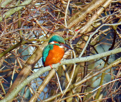 Common Kingfisher - Alcedo Atthis (N1488) (Le Photiste) Tags: clay alcedoatthis commonkingfisher ijsvogel eurasiankingfisher riverkingfisher eisvogel martinpêcheur guardarioscomum martínpescadorcomún alcióndeurope kungsfiskare isfuglen isfugl eŭropaalciono nature naturesprime rainbowofnaturelevel1red planetearthnature planetearth artisticimpressions beautifulcapture creativeimpuls creative digitalcreations finegold hairygitselite birds lovelyflickr mastersofcreativephotography photographicworld soe simplysuperb simplybecause thepitstopshop thebestshot universal vividstriking vigilantphotographersunitelevel1 wow wildlife nikon nikoncoolpixs9900 aphotographersview autofocus bestpeople'schoice afeastformyeyes thelooklevel1red blinkagain cazadoresdeimágenes digifotopro django'smaster damncoolphotographers fairplay infinitexposure iqimagequality giveme5 prophoto showcaseimages photomix saariysqualitypictures ngc theredgroup interesting ineffable lovelyshot momentsinyourlife simplythebest myfriendspictures kingfisher livingwithmultiplesclerosisms greatphotographers friendsforever photographers planetearthbirds