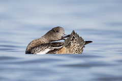 American Wigeon (nikunj.m.patel) Tags: wigeon american ducks ducksunlimited duck waterfowl migration wildlife nature photography outdoor eastern shore maryland chesapeake bay