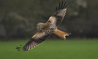 Red Kite showing the beautiful wings
