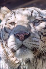 Rocky ♂ - What's That? (Belteshazzar (AKA Harimau Kayu)) Tags: rocky kara tiger zoo animal bigcat bigcats feline bengaltiger pantheratigristigris königstiger indischertiger eltigredebengala tigredubengale latigrerealedelbengala бенгальскийтигр 孟加拉虎 whitetiger weisertiger tigreblanco tigreblancroyal белыйтигр 孟加拉白虎 zooshot tobu tobuzoo snowwhite sunbathing canada playful playfulcat playfultiger playfulwhitetiger bengal