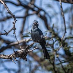 Red Eye (Portraying Life, LLC) Tags: usa arizona ventanacanyonwash pima bird handheld naturallighting wild