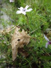 Phlox subulata ssp brittonii_moss phlox_Silver Mills 2 (Pete&NoeWoods) Tags: bedfordcnhi bedfordcounty f16woo18 silvermillsbarrens shalebarren phloxsubulatasppbrittonii mossphlox plants flower