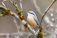 Kleiber 6 (rgr_944) Tags: vögel vogel bird oiseau tiere animaux animals natur outdoor canoneos80deos7dmk2 rgr944