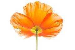 Perfectly Imperfect (glo photography) Tags: gloriasalvanteglophotography bloom fleur flor flora flower green icelandpoppy indoors macro orange petals plant poppy stem studio yellow