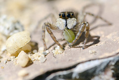 araignée sauteuse (Voyage Au delà d'un Regard) Tags: macro insecte araignée arachnide puceron salticide