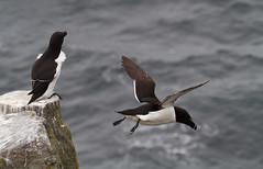 Razorbills (Alca torda), Isle of May NNR (Niall Corbet) Tags: scotland fife seabird razorbill firthofforth isleofmay alcatorda nnr nationalnaturereserve