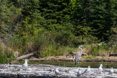 The leader (Alothan) Tags: trees lake ontario canada bird crane seagull shore kakabeka