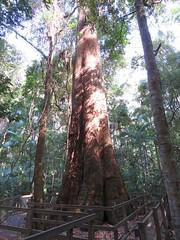 Eucalyptus pilularis 16 (barryaceae) Tags: middle brother national park australianrainforestplant ausrfplant new south wales australia myrtaceae myrtle family order myrtales
