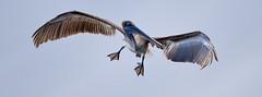 Galapagos-20140714-1637-BK2W3626-Edit (Swaranjeet) Tags: pelican pelicans galapagos ecuador bird largebirds july2014 canon fullframe 1dx eos1dx dslr sjs swaran swaranjeet swaranjeetsingh sjsvision sjsphotography swaranjeetphotography 2014 eos canoneos1dx 35mm ef pro 200400 canonef200400mm canonef200400mmf4lisusm14x singh photographer thane mumbai india indian