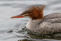 Pretty close (Tom Dalhoy) Tags: autumn bird water norway female duck fishing published common commonmerganser merganser 500px ifttt