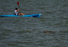 He's Behind You.jpg (Nigel Jones LRPS) Tags: sea water kayak paddle canoe seal greay
