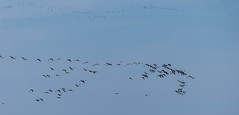 Molts ocells (Aicbon) Tags: verde nature birds estonia cel panasonic ave cielo pato eesti ganso esbart migracion bandada