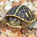 Ornate Box Turtle, Juvenile