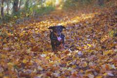 Teun 44/52 outtake (TuukiTuuki) Tags: autumn dog herfst dachshund wiener dachs wienerdog teckel weener doxie sausagedog