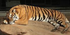 tijger hoenderdaell JN6A7330 (j.a.kok) Tags: tiger tijger bengaltiger pantheratigristigris bengaalsetijger hoenderdaell