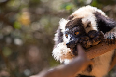 LEMUR-PARK-58 (RAFFI YOUREDJIAN PHOTOGRAPHY) Tags: park city travel trees plants baby white cute green animal fauna canon river jumping sweet turtle wildlife bricks mother adorable adventure explore lemur 5d lemurs bushes madagascar 70200 antananarivo mkiii