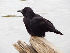 Crow (amgirl) Tags: seattle lake bird sitting greenlake driftwood perched crow hunched
