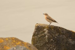 _DSC3744 Tapuit : Traquet motteux : Oenanthe oenanthe : Steinschmatzer : Northern Wheatear