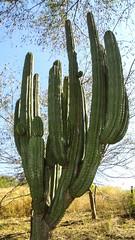 CACTACEAE Stenocereus martinezii (pitaya) (egamezduarte) Tags: cactaceae pitaya stenocereus martinezii