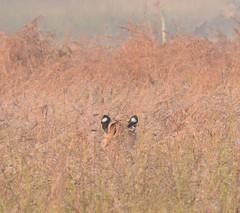 Look behind you! (bursar103) Tags: india tiger pantheratigristigris royalbengaltiger