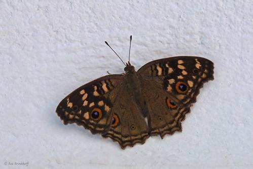 Junonia lemonias