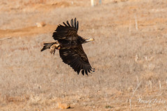 Young Bald Eagle makes off with its meal