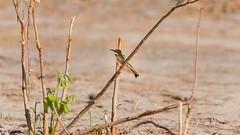 20151105_Chobe_0985.jpg (eLiL1860) Tags: bird birds botswana vögel vogel littlebeeeater tierwelt zwergspint safari2015