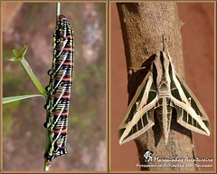 Metamorfose - Eumorpha fasciatus (Sphingidae) (Marquinhos Aventureiro) Tags: brazil brasil wildlife natureza moth caterpillar vida sphingidae macroglossinae mariposa floresta lagarta metamorphose selvagem eumorpha fasciatus macroglossini