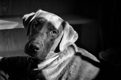 labrador obscura (fallsroad) Tags: portrait blackandwhite bw dog lab labrador dof chocolate servicedog labradorretriever hunter assistancedog seizureresponsedog littledoglaughednoiret