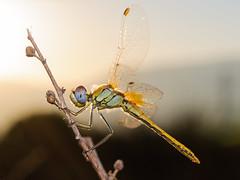mirando al sol (Santi BF) Tags: macro animal closeup bug dragonfly bicho liblula odonata anisoptera sympetrum sympetrumfonscolombii libllula odonato anisptero