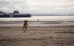 An Afternoon Run (jjordan64816) Tags: beach crosbybeach dog harvey labrador labradorretriever liverpool mersey playing rivermersey sand uk yellowlabrador