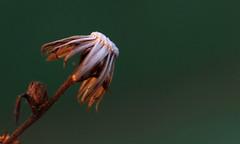 Plant (Macro) (Jocarlo) Tags: art afotando adilmehmood arttate adobe blinkagain crazygeniuses crazygenius editing flickrclickx flickraward flickrstruereflection1 flickrphotowalk fuji fujifilm flora flor flower flores fujistas flowers genius photowalk photowalkmelilla sharingart photograpfy photografy jocarlo makro clickofart melilla macro macros macrophotographers macrofotografia macrofotografía ngc nationalgeographic nature pwmelilla parques planta plantas plant plants soulocreativity1 xt1